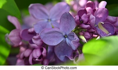 Extreme close up purple lilac flowers