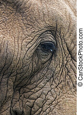 Extreme close up Skin and Eye of African Elephant