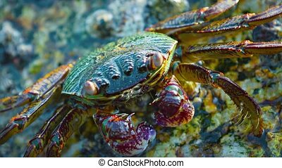 4k video - Extreme closeup video clip of a small, colorful crab, clinging to a rock and scavenging his dinner from a rock along the waterline at low tide.
