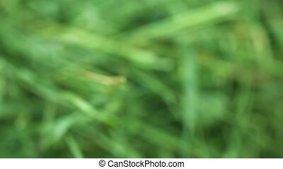 Extreme Closeup of Cut Grass with Shifting Focus - 1920x1080...