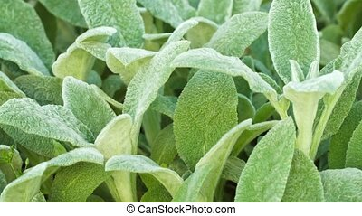 Extreme Closeup of Fuzzy, Green, Leafy Plant - Video FullHD...