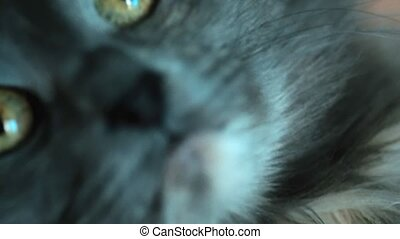 Extreme closeup shot of gray cat holding by hands selective...