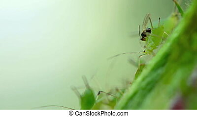 Extreme closeup shot of parasitic wasp, laying its eggs in live aphid
