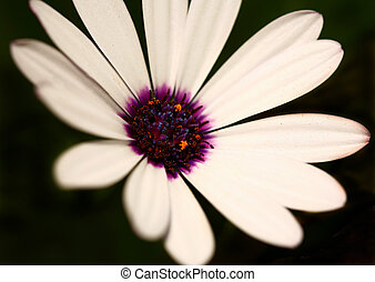 Extreme Depth of Field Image of a White Daisy With Purple Center