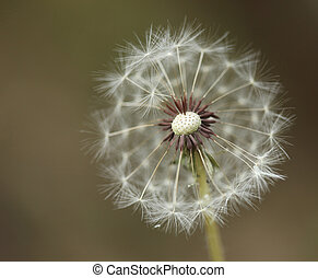 Extreme Depth of Field With a Dandilion Partially Blown Away...