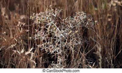 thorn tumbleweed field