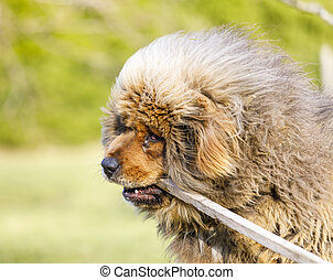 Extremely hairy blond dog portrait