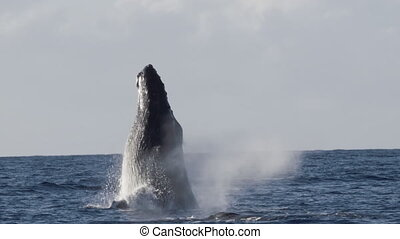 Extremely rare shot of a full Humpback Whale breach. Super slow motion.