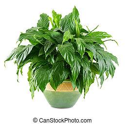 exuberante, planta, interior, brillante