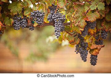 exuberante, vid, uvas, maduro, vino