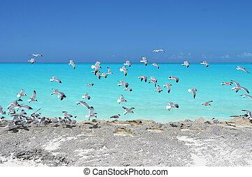 exuma, bahamas, peu, mouettes, côte
