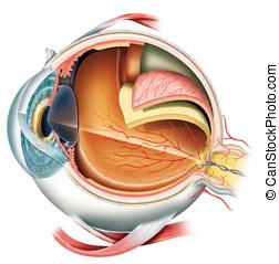 Eye - Anatomy of the eye