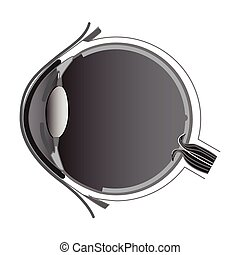 Eye anatomy, vector