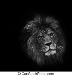 Eye catching portrait of male lion on black background in...