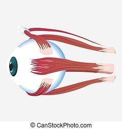 Eye cross muscle icon, cartoon style - Eye cross muscle...