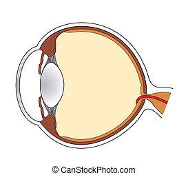 Eye - Cross-section of human eye