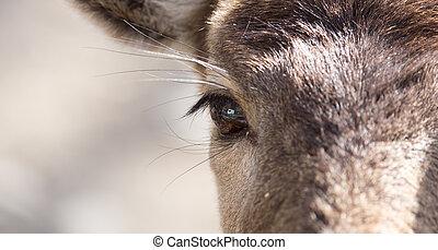 Eye deer in nature, close-up