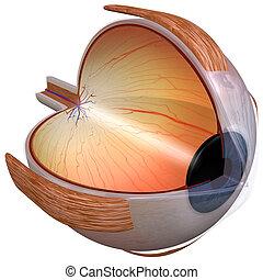 3D rendering of the human eye, three quarter view