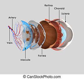 Eye layers - The globe of the eye, or bulbus oculi, is the...