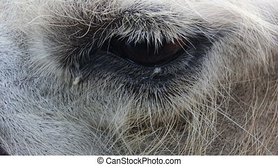 eye of a camel. one animal in harness closeup