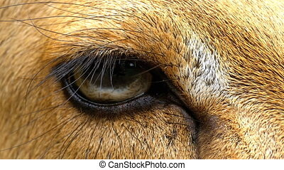 Eye of a Deer at the Khao Kheow Open. Thailand