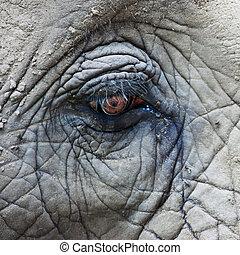 Eye of African Elephant