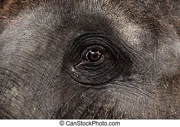 Eye of an asian elephant