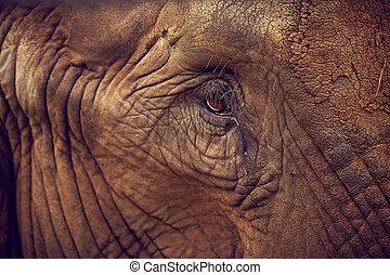 Eye of an elephant. African Elephant