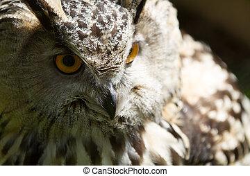 Eye of eagle owl