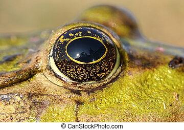 eye of marsh frog