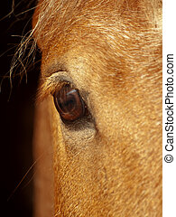 eye of palamino horse closeup