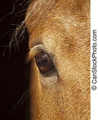 eye of palomino horse closeup