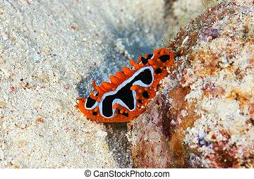 Eye spot sea slug (Phyllidia ocellata Cuvier) in the Red...