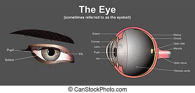 Eye system - Eyes are the organs of vision. They detect...