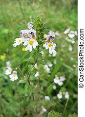 Eyebright or Eyewort (Euphrasia rostkoviana) in the meadow.