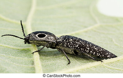 Eyed click beetle close-up - Macro of 1 1/2 inch long, Eyed...