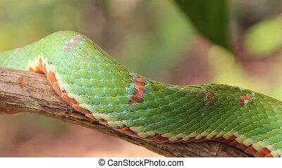 Eyelash viper (Bothriechis schlegel - A venomous pitviper...