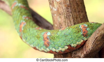 Eyelash viper Bothriechis schlegeli - A venomous pitviper...