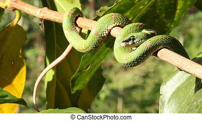 Eyelash Viper - Eyelash viper (Bothriechis schlegelii) A...