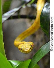 Eyelash Viper (Bothriechis schlegeli)