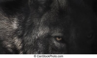Eyes of a black wolf behind bars - The eyes of the black...