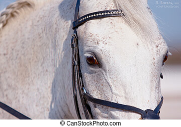 Eyes of a white horse