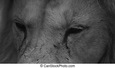 Eyes of an adult lion - Large predatory animal