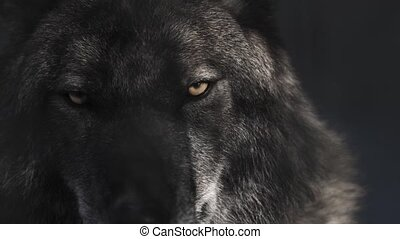 Eyes of black wolf in black cave with shadows from the...
