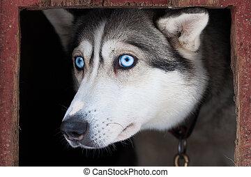 eyes of siberian husky dog
