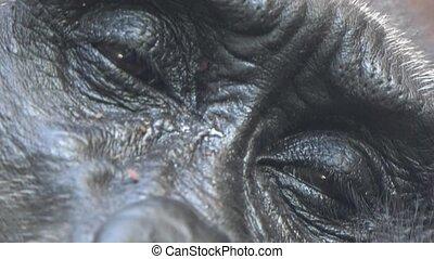 Eyes Of Tired Gorilla