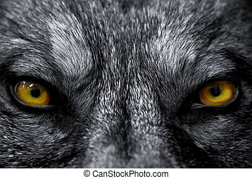 eyes of wolf - beautiful eyes of a wild wolf: dangerous...