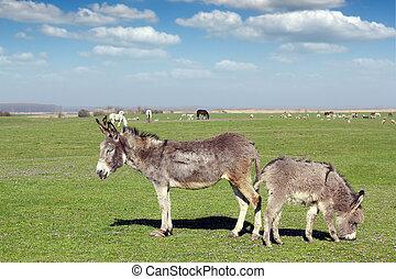 ezels, en, boerderijdieren, op, wei