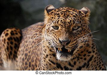 fâché, léopard
