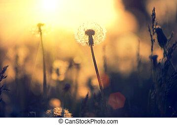 fält, över, solnedgång, bakgrund, maskros